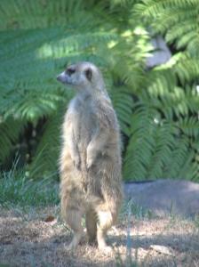 Meercat SD Zoo